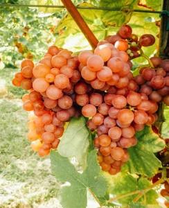 grappolo uva nanto